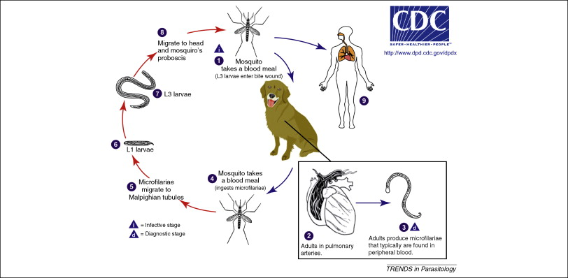Heartworm Life Cycle In Dog S And Humans Mountain View