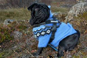 Do Dogs Need Sweaters or Jackets in the Winter
